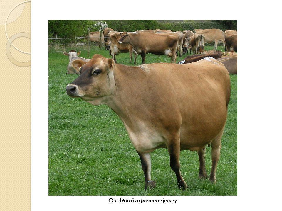 Obr.16 kráva plemene jersey