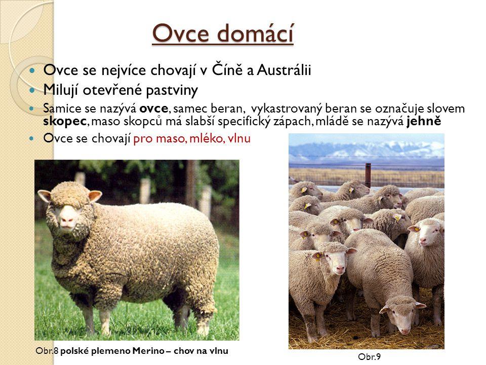 Ovce domácí Ovce se nejvíce chovají v Číně a Austrálii Milují otevřené pastviny Samice se nazývá ovce, samec beran, vykastrovaný beran se označuje slo