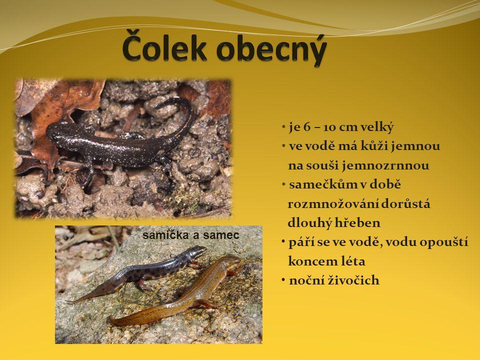 je 6 – 10 cm velký ve vodě má kůži jemnou na souši jemnozrnnou samečkům v době rozmnožování dorůstá dlouhý hřeben páří se ve vodě, vodu opouští koncem