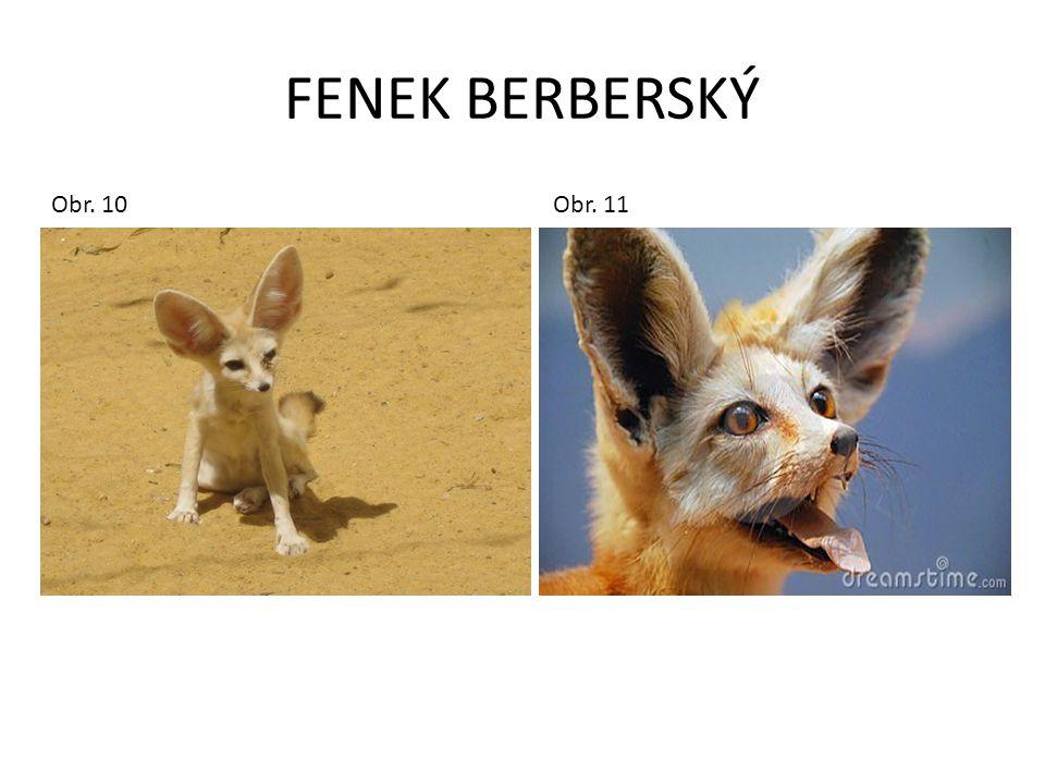 FENEK BERBERSKÝ Obr. 10 Obr. 11