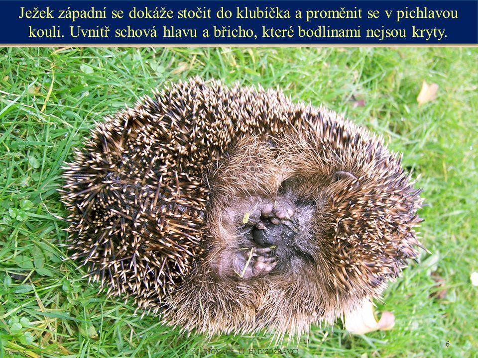 Obr.č. 10 7 VY_32_INOVACE_11_HMYZOŽRAVCI Mláďata ježků se rodí holá, slepá a bez bodlin.
