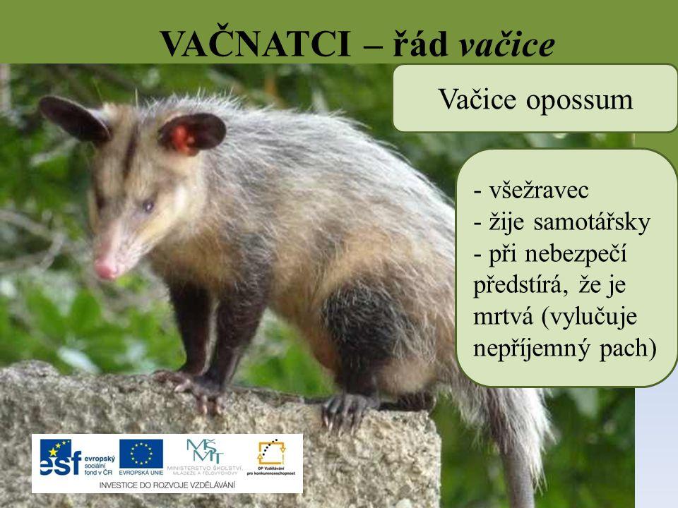 VAČNATCI – řád vačice Vačice opossum - všežravec - žije samotářsky - při nebezpečí předstírá, že je mrtvá (vylučuje nepříjemný pach)