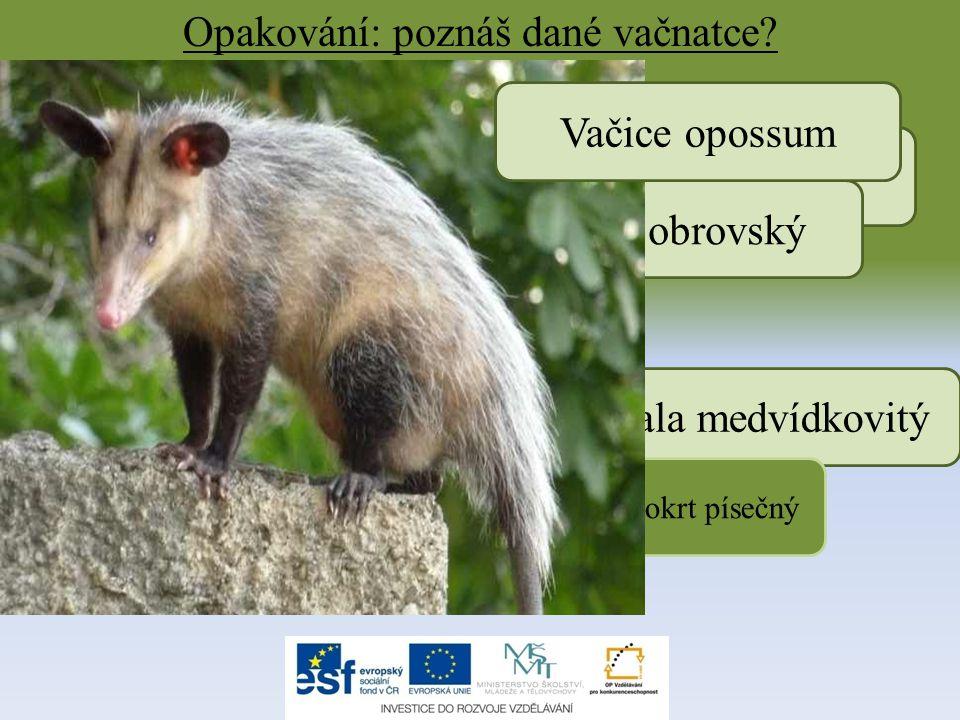 Opakování: poznáš dané vačnatce? Koala medvídkovitý Kolokolo Vakokrt písečný Klokan obrovský Vačice opossum