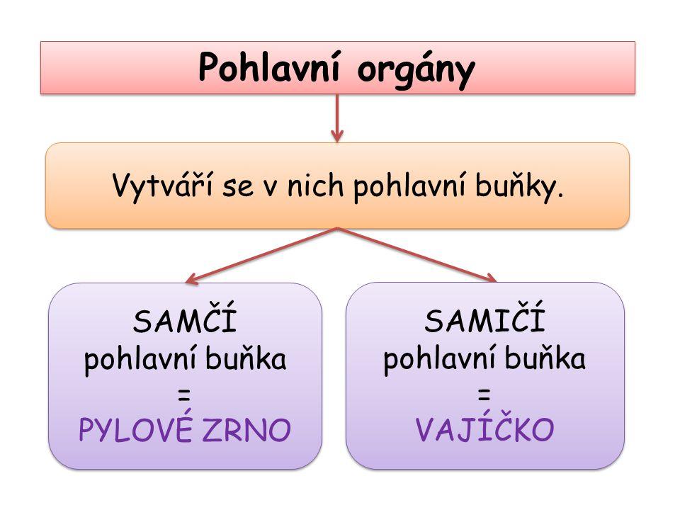 Pohlavní orgány Vytváří se v nich pohlavní buňky. SAMČÍ pohlavní buňka = PYLOVÉ ZRNO SAMČÍ pohlavní buňka = PYLOVÉ ZRNO SAMIČÍ pohlavní buňka = VAJÍČK
