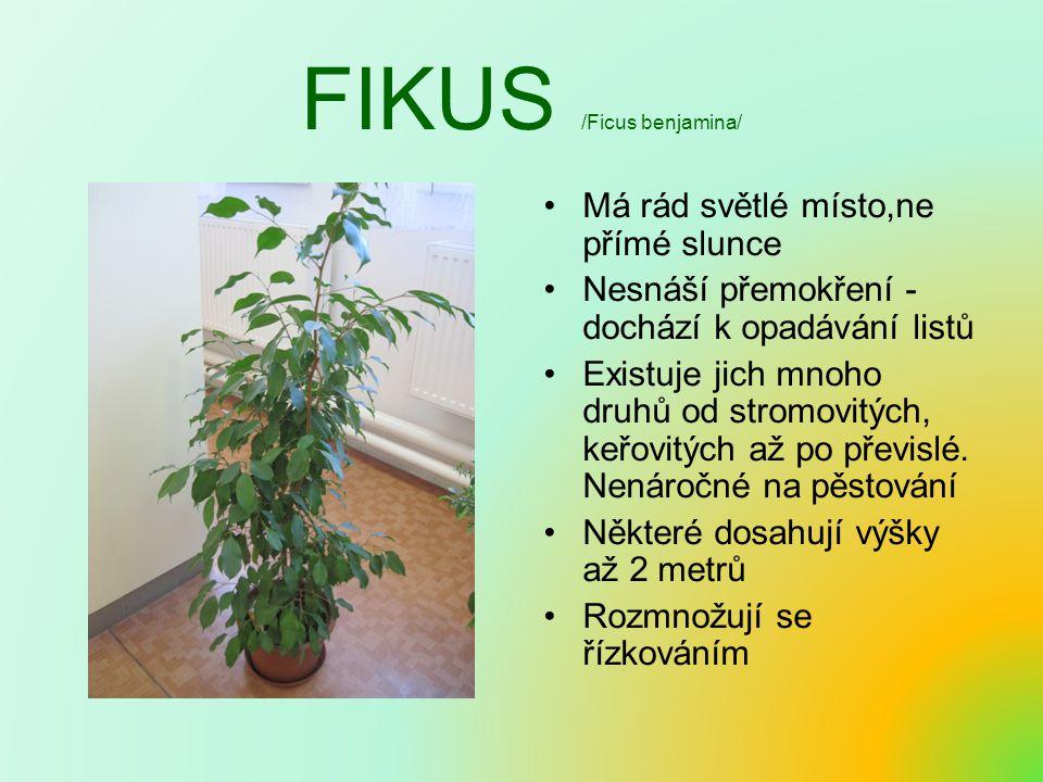 FIKUS /Ficus benjamina/ Má rád světlé místo,ne přímé slunce Nesnáší přemokření - dochází k opadávání listů Existuje jich mnoho druhů od stromovitých, keřovitých až po převislé.