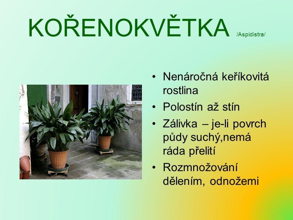 KOŘENOKVĚTKA /Aspidistra/ Nenáročná keříkovitá rostlina Polostín až stín Zálivka – je-li povrch půdy suchý,nemá ráda přelití Rozmnožování dělením, odn