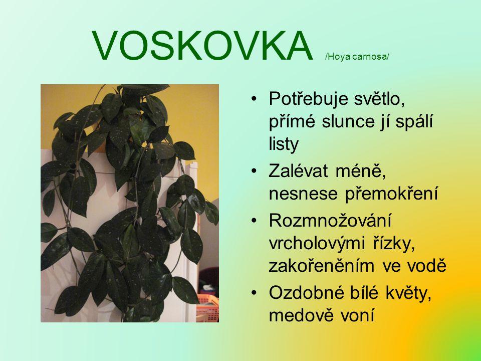 VOSKOVKA /Hoya carnosa/ Potřebuje světlo, přímé slunce jí spálí listy Zalévat méně, nesnese přemokření Rozmnožování vrcholovými řízky, zakořeněním ve