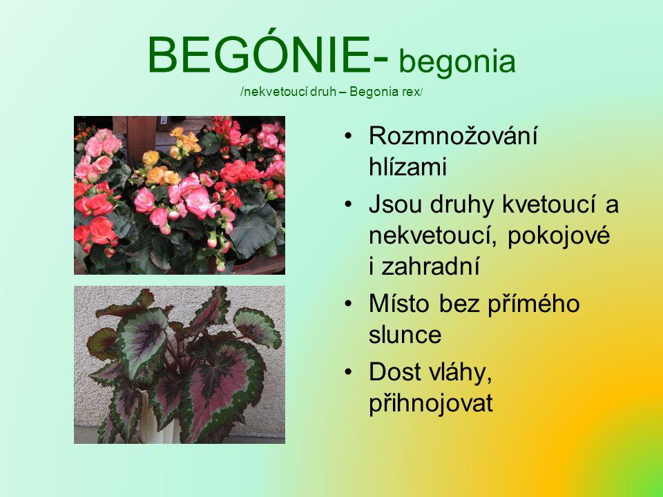 BEGÓNIE- begonia /nekvetoucí druh – Begonia rex / Rozmnožování hlízami Jsou druhy kvetoucí a nekvetoucí, pokojové i zahradní Místo bez přímého slunce Dost vláhy, přihnojovat