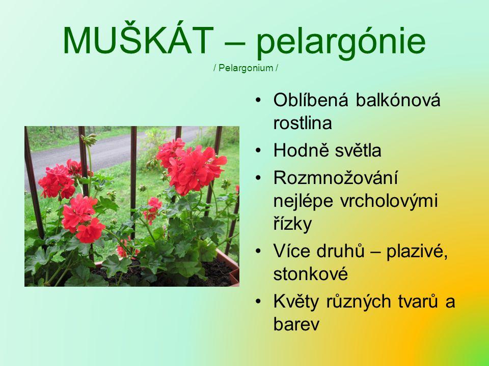 MUŠKÁT – pelargónie / Pelargonium / Oblíbená balkónová rostlina Hodně světla Rozmnožování nejlépe vrcholovými řízky Více druhů – plazivé, stonkové Květy různých tvarů a barev