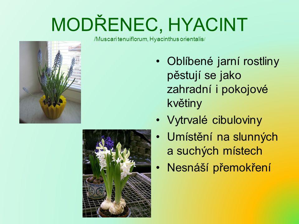 MODŘENEC, HYACINT /Muscari tenuiflorum, Hyacinthus orientalis / Oblíbené jarní rostliny pěstují se jako zahradní i pokojové květiny Vytrvalé cibulovin