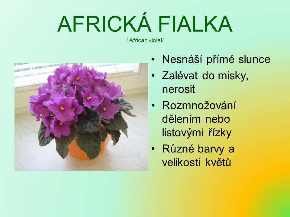 AFRICKÁ FIALKA / African violet/ Nesnáší přímé slunce Zalévat do misky, nerosit Rozmnožování dělením nebo listovými řízky Různé barvy a velikosti květů