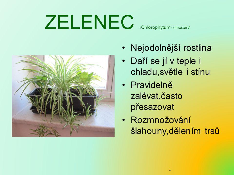 ZELENEC / Chlorophytum comosum/ Nejodolnější rostlina Daří se jí v teple i chladu,světle i stínu Pravidelně zalévat,často přesazovat Rozmnožování šlah