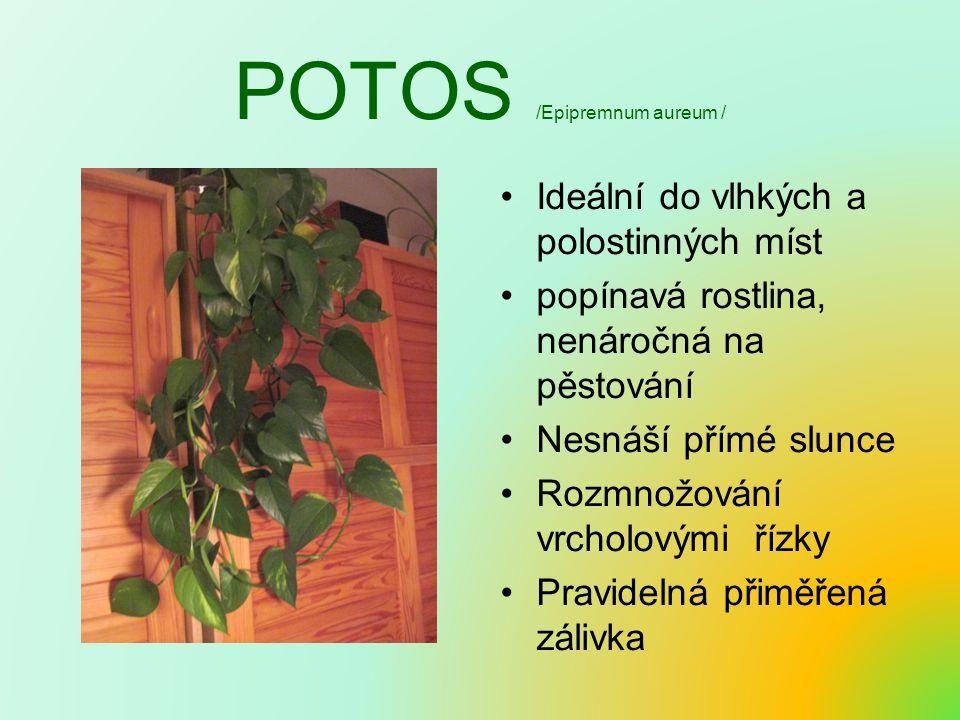 POTOS /Epipremnum aureum / Ideální do vlhkých a polostinných míst popínavá rostlina, nenáročná na pěstování Nesnáší přímé slunce Rozmnožování vrcholovými řízky Pravidelná přiměřená zálivka
