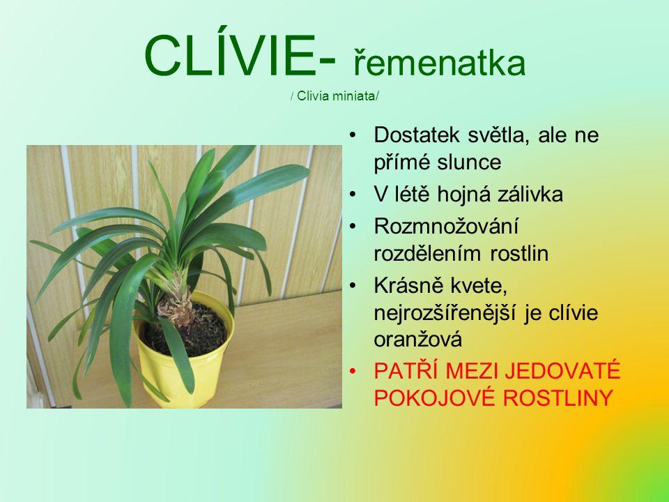 CLÍVIE- řemenatka / Clivia miniata/ Dostatek světla, ale ne přímé slunce V létě hojná zálivka Rozmnožování rozdělením rostlin Krásně kvete, nejrozšíře