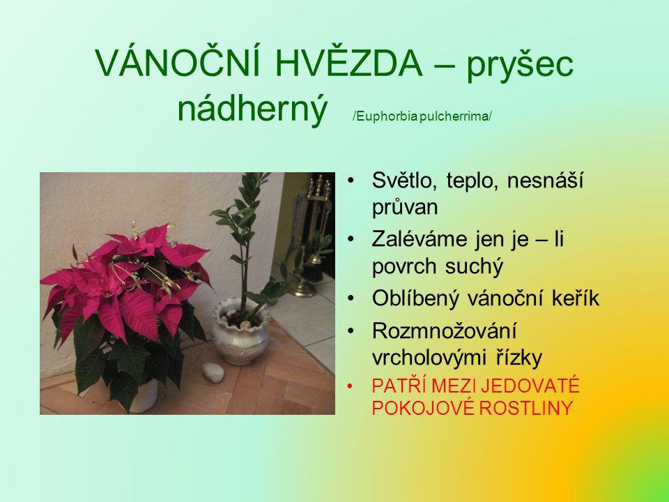 VÁNOČNÍ HVĚZDA – pryšec nádherný /Euphorbia pulcherrima/ Světlo, teplo, nesnáší průvan Zaléváme jen je – li povrch suchý Oblíbený vánoční keřík Rozmnožování vrcholovými řízky PATŘÍ MEZI JEDOVATÉ POKOJOVÉ ROSTLINY