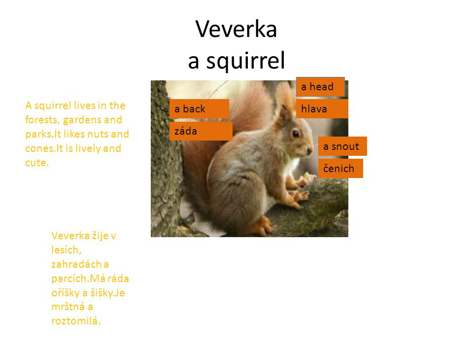 Veverka a squirrel a head a snout a back A squirrel lives in the forests, gardens and parks.It likes nuts and cones.It is lively and cute.
