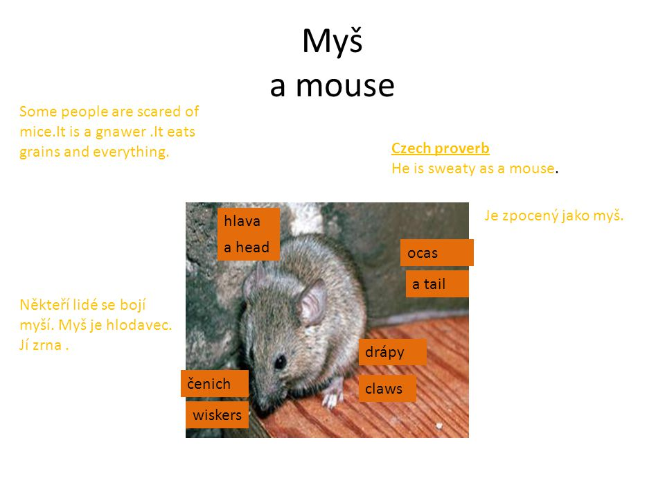 Myš a mouse a head claws a tail wiskers Czech proverb He is sweaty as a mouse.