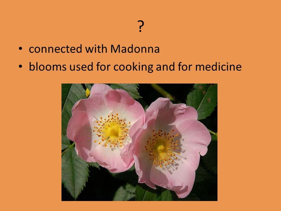 connected with Madonna blooms used for cooking and for medicine