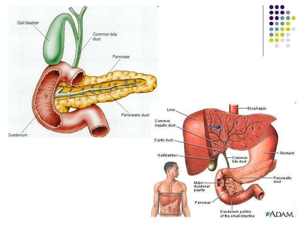 Pankreas – slinivka břišní – stavba a funkce zevně sekretorické ...