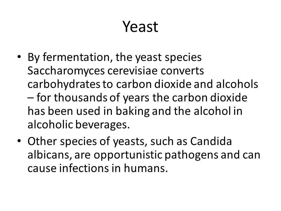 Yeast • By fermentation, the yeast species Saccharomyces cerevisiae converts carbohydrates to carbon dioxide and alcohols – for thousands of years the carbon dioxide has been used in baking and the alcohol in alcoholic beverages.